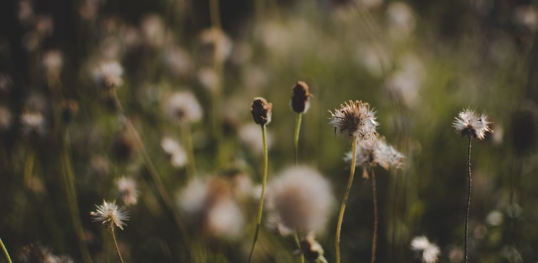Plant Flower Flowering Plant Fragility Growth Focus On Foreground Beauty In Nature Close-up Vulnerability  Freshness Plant Stem Nature No People Flower Head Day Tranquility Inflorescence Outdoors Field Land