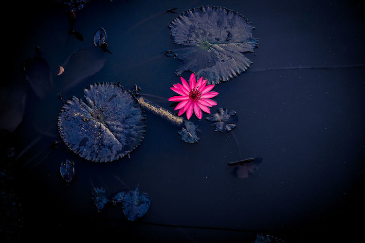 Beauty In Nature Close-up Flower Flower Head Fragility Freshness Growth Nature Night No People Outdoors Petal Water