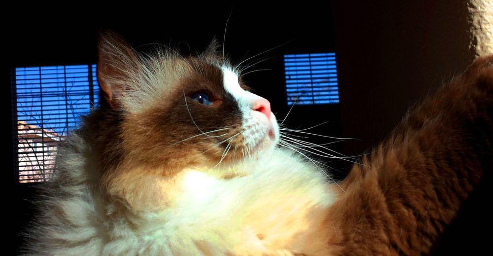 Close-up of ragdoll cat at home