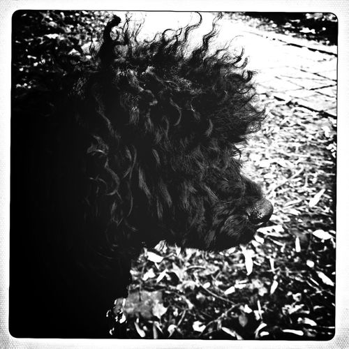 Punky hipstamatic profile of our gorgeous mini poodle Tallulah in a local park! Blackandwhite Dog Natural Beauty Eye4photography  Miniature Poodle Poodle Black Poodle Dog Black Dog Outdoors Parklife Outdoor Photography Monochrome Photography No People Nopeople Beauty Dog Photography
