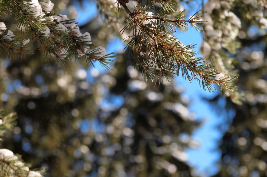 Beauty In Nature Branch Close-up Cold Temperature Day Freshness Green Color Growth Low Angle View Nature No People Outdoors Pine Tree Sky Snow Tree Winter