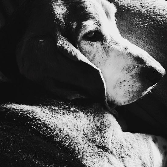 A snoozing basset hound Check This Out Hello World Enjoying Life Relaxing Iphonephotography MySweetheart Posing For The Camera Bassetphotography Bassetmoments Livinandlovinlife Ilovebassethounds Bassetworld That's Me Blackandwhiteportraits Relaxedand Happy Blackandwhite Photography Myseniorhound