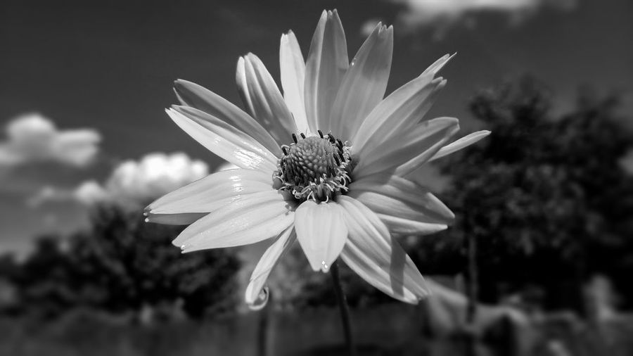Beauty In Nature Blackandwhite Blooming Blossom Botany Close-up Daisy Day Flower Flower Head Focus On Foreground Fragility Freshness Growth In Bloom Nature No People Outdoors Petal Plant Pollen Selective Focus Stamen Water Waterdrops