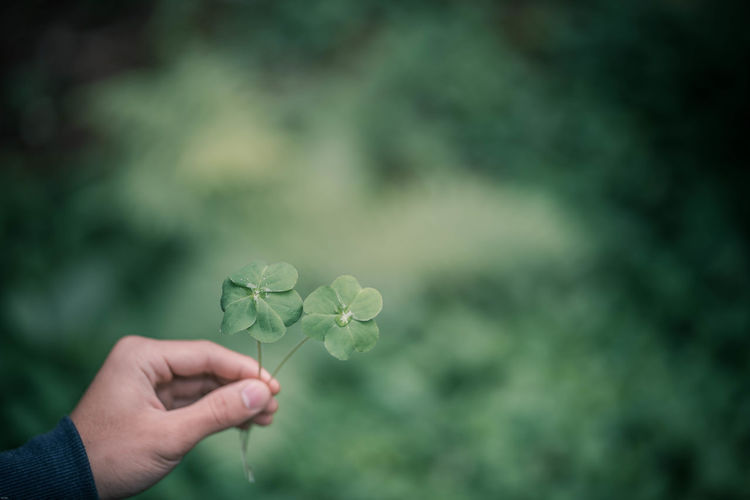 Cropped hand holding clover leaf
