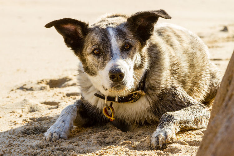 Close-up portrait of dog on sand at beach