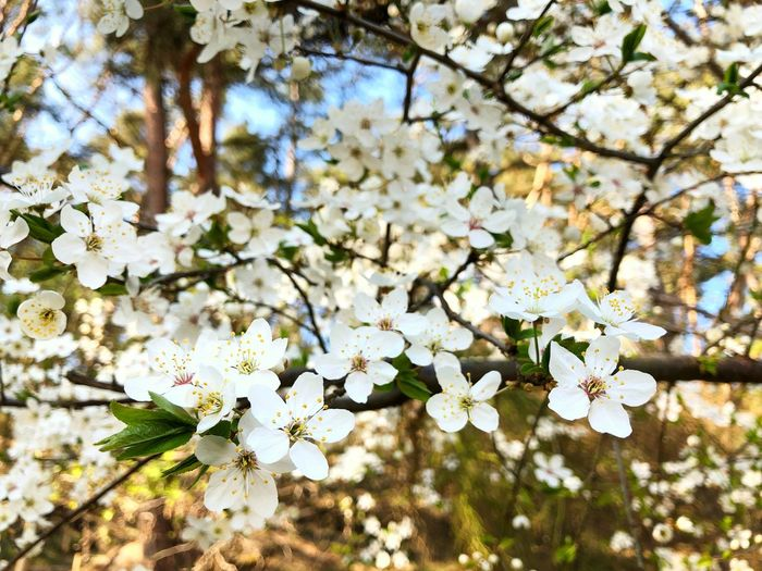 Flowers White Spring Summer Sun Nature Tree Backgrounds Wallpaper Flowering Plant Flower Plant Fragility Freshness Beauty In Nature Vulnerability  Blossom Growth Springtime Branch White Color Cherry Blossom Twig Day Close-up No People Apple Tree Cherry Tree Flower Head Outdoors Bunch Of Flowers