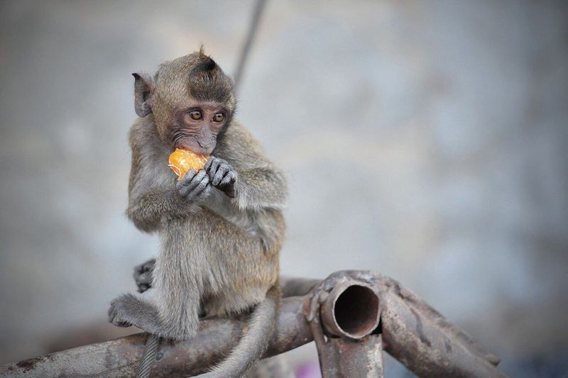 Monkey Eating Orange Fruit