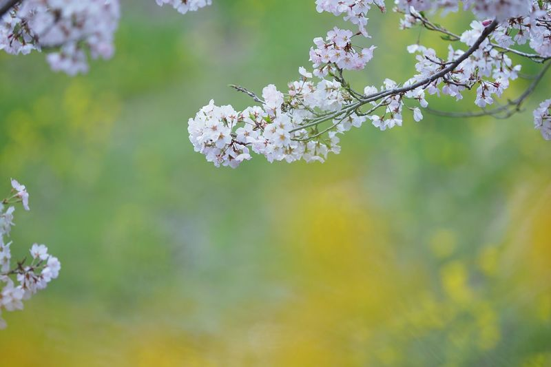 伝える。 Flower Nature Growth Beauty In Nature Fragility Freshness Tree White Color Blossom Springtime Close-up Twig Petal Blooming Day Flower Head EyeEm Nature Lover EyeEm Best Shots EyeEmNewHere Cherry Tree 桜 小松乙女 Olympus OM-D EM-1 花散らしの雨がとても冷たいので、少し焦り気味に今年の桜をアップしてみるのが本日の気持ちとゆうことになります。