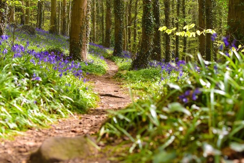Bluebell Bluebell Wood Bluebell Flower Nature Growth Flower Plant Purple Tree Outdoors Tree Trunk Beauty In Nature Forest Scenics No People Day