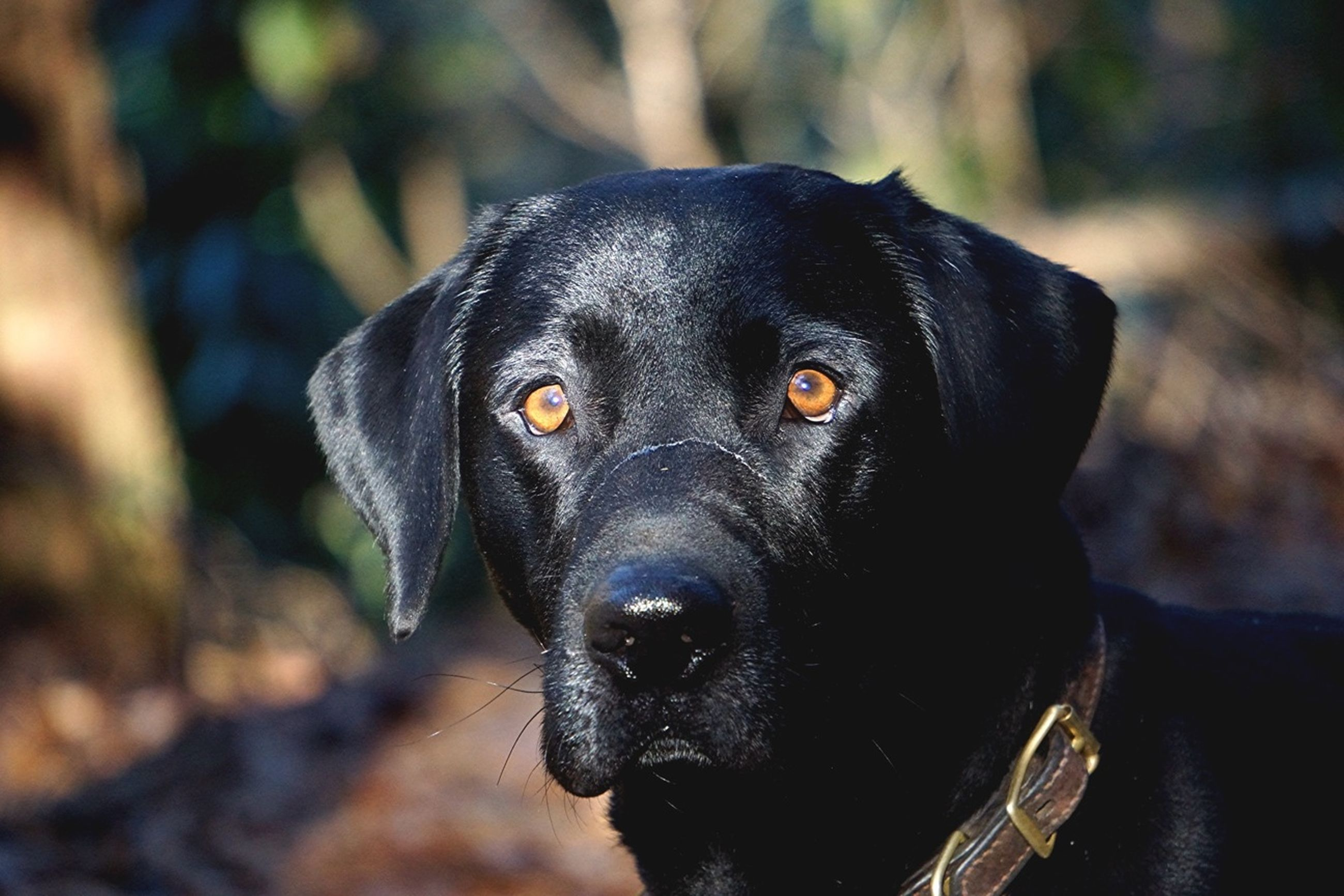 dog, pets, animal themes, one animal, domestic animals, mammal, black color, looking at camera, portrait, focus on foreground, close-up, animal head, black, animal body part, selective focus, no people, pet collar, zoology, day, front view