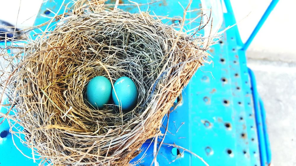 Blue robbin eggs in a nest on blue metal staircase Blue High Angle View Fragility Close-up Day Outdoors The Great Outdoors - 2017 EyeEm Awards Nature Beauty In Nature Metal Structure Staircase Eggs Nest Plant Material Abandoned Circle Circles EyeEm Nature Lover Neon Life