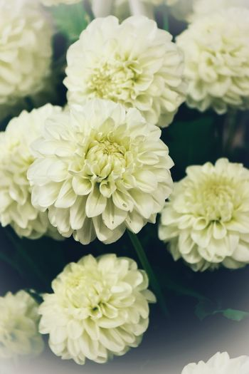 Dahlia Dahlias Flowering Plant Flower Vulnerability  Fragility Plant Beauty In Nature Petal Indoors  Growth Yellow Focus On Foreground No People Flower Arrangement Day White Color Nature Flower Head Freshness Close-up Inflorescence