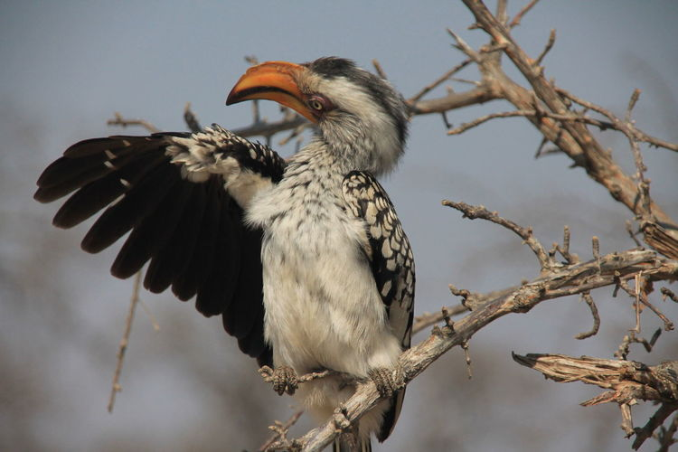 Close-up of hornbill perching on branch