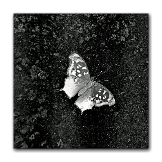 Butterflies At The Conservatory Of Flowers 14 San Francisco CA🇺🇸 Conservatory Of Flowers Built 1897 Golden Gate Park Architecture Victorian Style : Italinate Gothic Greenhouse The Question Mark Polygonia Interrogationis Nymphalidae Butterfly ❤ Butterfly _Lovers Butterfly _Collection Illuminated Reflection Special Exhibit Butterflies And Blooms Butterfly On Concrete Monochrome_Photography Monochrome Black & White Black & White Photography Black And White Black And White Collection