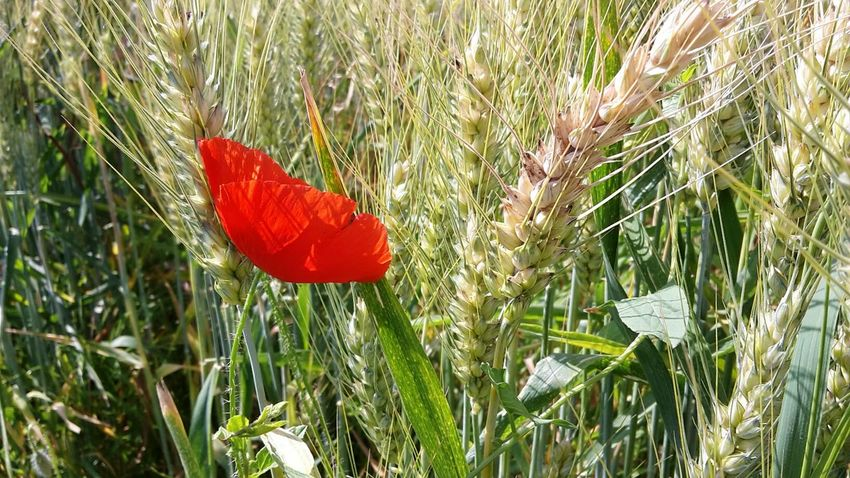 Growth Grass Red Nature Flower Plant Day No People Outdoors Beauty In Nature Green Color Fragility Freshness Close-up Flower Head Mohnblume Mohn Getreide Ahre Poppy Poppyflower Grain Spike Summertime