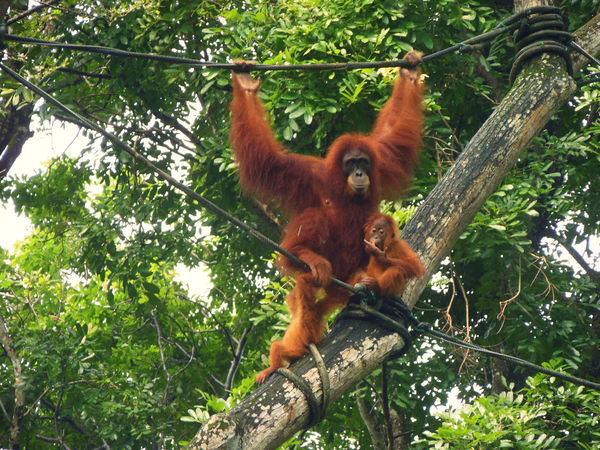 Animal Themes Animal Wildlife Animals In The Wild Baby Orangutan Hang In There Low Angle View Mammal Monkey Monkey Family Orangutan Pongo Pygmaeus Primate Singapore Zoological Garden Togetherness Tropical Forest
