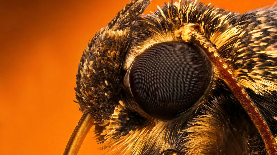 Close up of insect eye against orange background
