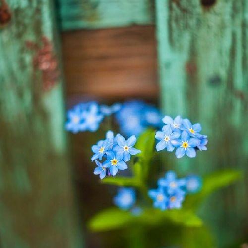 Helios44 , M42 , Niezapominajki , Kwiaty , flowers, don'tforgetme, blue, macro, nikond90, flora