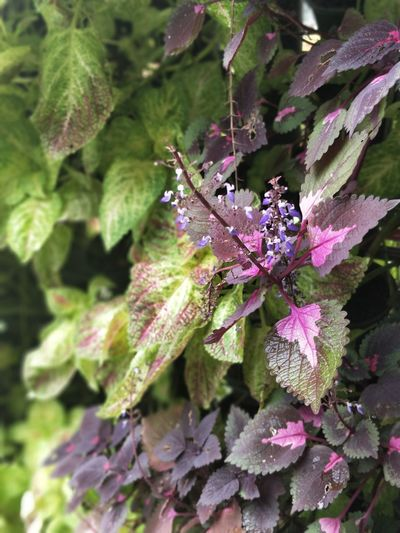 Nature Plant Growth Green Color Purple Flower Pink Color
