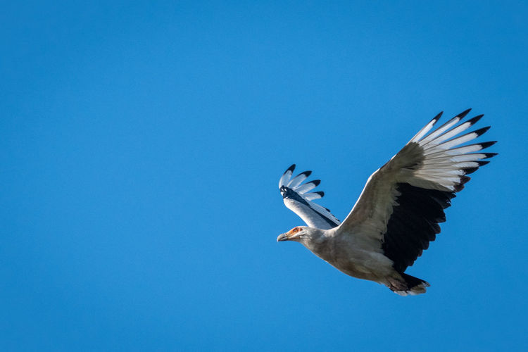 Palm-nut vulture EyeEm Birds EyeEm Nature Lover Animal Animal Themes Animal Wildlife Animals In The Wild Bird Birds In Flight Blue Clear Sky Copy Space Day Flying Low Angle View Mid-air Motion Nature No People One Animal Outdoors Palm-nut Vulture Sky Spread Wings Vertebrate Vulture The Great Outdoors - 2018 EyeEm Awards