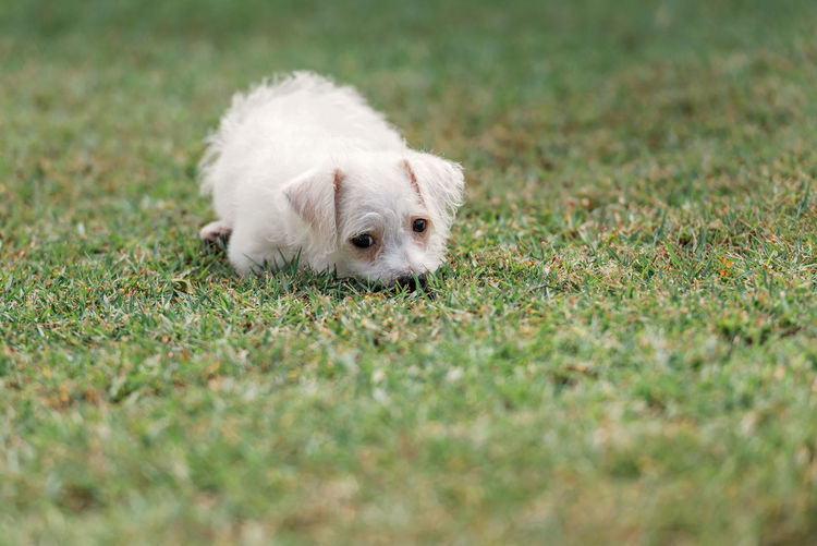 Hiding in the grass Animal Themes Close-up Day Dog Domestic Animals Grass Hiding Mammal Nature No People One Animal Outdoors Pet Pets Puppy White Color