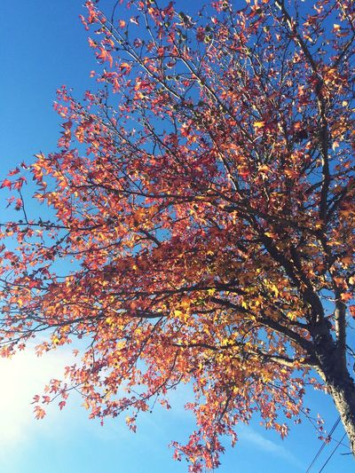Autumn Autumn Leaves Autumn Colors Red Leaves Nature Nature_collection Colors Blue Sky Sunny