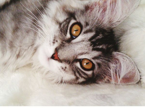 Mainecoon Pedigree Cat Tiger Amber Eyes Tabby Cat Majestic Creature Close Up Cat Hypnotic