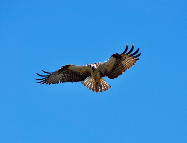 Bird Animal Themes Flying Animals In The Wild Wildlife Spread Wings Blue One Animal Low Angle View Clear Sky Zoology Nature Outdoors Flight Beauty In Nature Tranquility Animal Wing No People Birdofprey Osprey