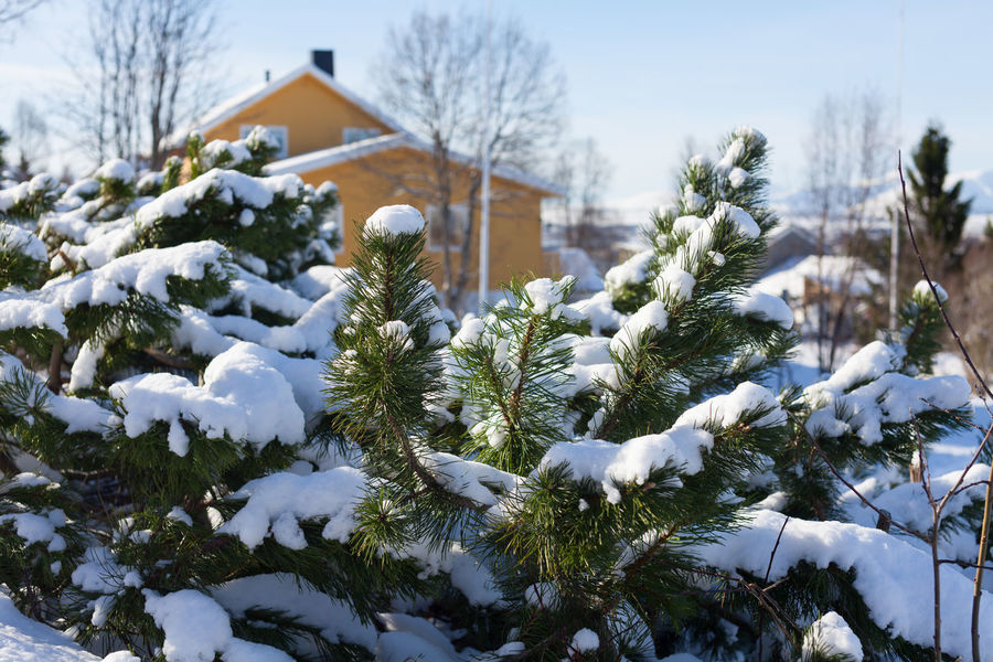 Fir branches covered with snow. Arctic Celebration Christmas Tree Cold Temperature Day Fir Tree Nature Norway Outdoors Snow Tree Tromsø Winter