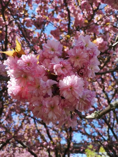 Low angle view of cherry blossoms on tree
