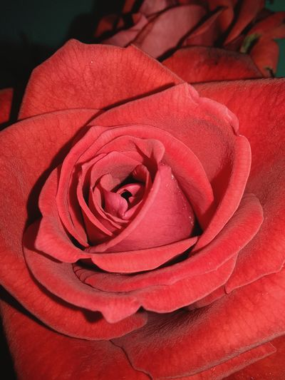 Flower Head Flower Red Petal Rose - Flower Backgrounds Close-up