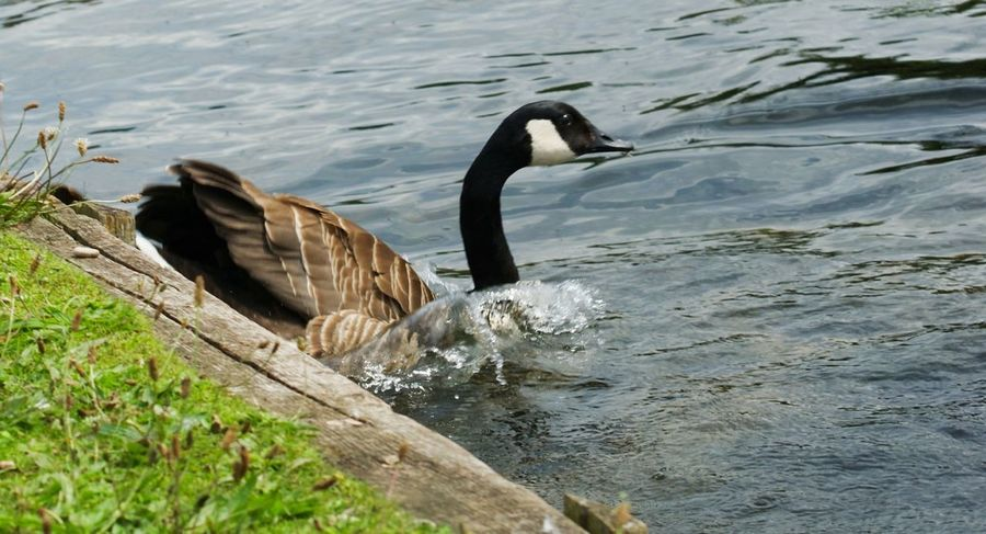 Animals In The Wild Animal Wildlife Bird Water Animal Themes Nature Outdoors One Animal No People Day Canada Goose Splash Down
