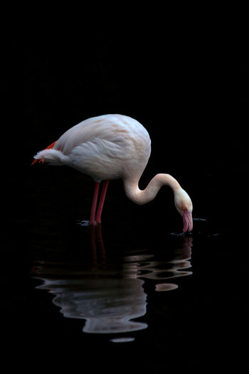 Pink mood Flamingo Bird Black Background Water Full Length Pink Color Reflection Portrait Close-up Water Bird Mute Swan Freshwater Bird Preening Ibis Mandarin Duck White Swan Duck Stork Canada Goose Cygnet Coot Confined Space Swimming Animal White Stork Mallard Duck Black Swan Beak Egret Wading Swan