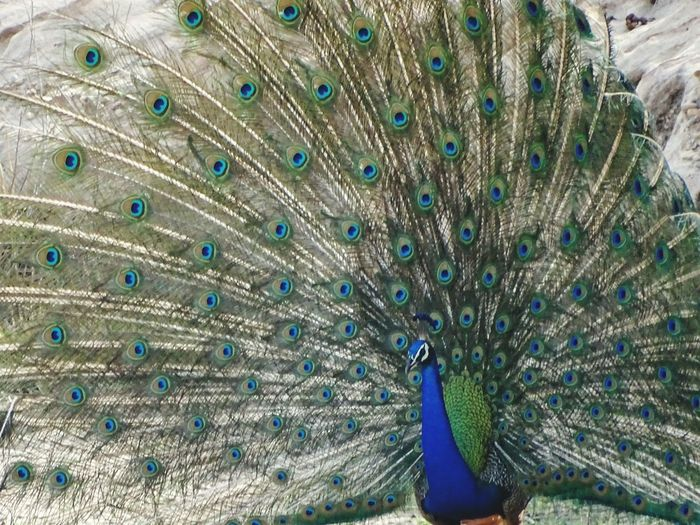 Peacock Peacock Feather Bird Feather  Animal Themes Fanned Out Animal Wildlife Beauty In Nature One Animal Animals In The Wild Multi Colored Outdoors Nature No People Close-up Day Blue Prañavography MPOTM - WeekendChallengeNo1 India Malephotographerofthemonth The Great Outdoors - 2017 EyeEm Awards The Street Photographer - 2017 EyeEm Awards The Portraitist - 2017 EyeEm Awards The Photojournalist - 2017 EyeEm Awards Neon Life Pet Portraits The Week On EyeEm