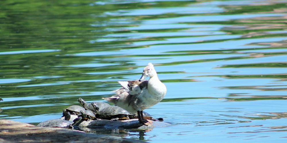 Animal Wildlife Animals In The Wild Beautiful Beautiful Nature Close-up Duck And Turtles Lake View Sharing Rock Sun Bathing Perspectives On Nature