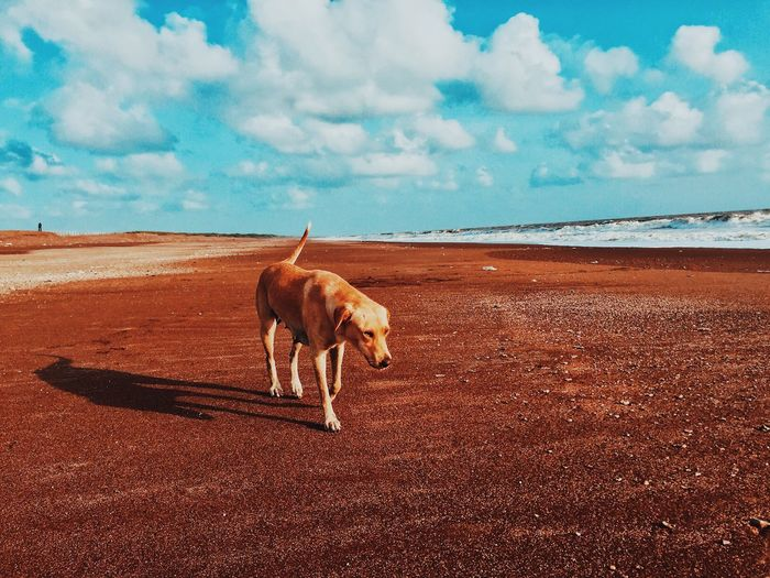 EyeEmNewHere Animal Themes One Animal Domestic Animals Mammal Sky Dog Pets Nature Sand Cloud - Sky Day Walking Standing Outdoors Full Length No People Beauty In Nature Scenics Water IMography VSCO Mobilephotography ShotOniPhone6 Iphonephotography Pet Portraits