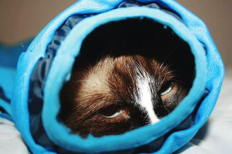 Pet Blue Close-up Indoors  No People Catinsleeve Cat Flafkagram Ragdoll Cat Cutepets Catsagram Cat Photography Flaffy Ragdollcat Pet Portraits