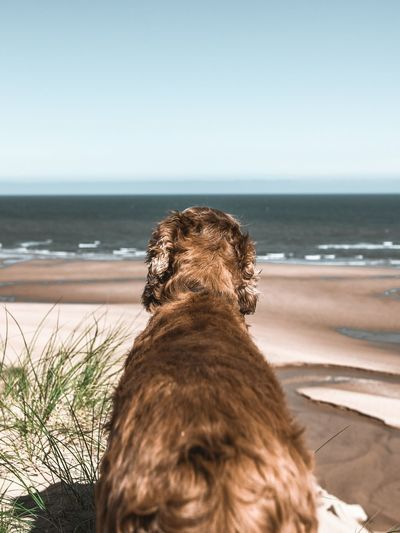 Red Setter at the beach Beach Aberdeenshire Scotland Balmedie Beach Dog Red Setter Spaniel Water Sea Beach Portrait Swimming Protruding Sand Pets Sky Close-up