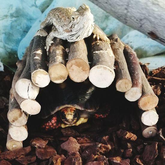 Turtle And Lizard Turtle 🐢 Lizard Lizard Nature Lizard Photography Dragon Terrarium🍀 Terrarium Pet Portraits