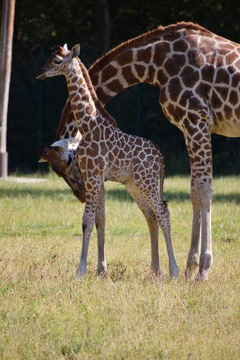 Giraffe standing on field