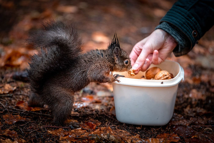 Squirrel Feeding  Surprise Nuts Mammal Hand Food Human Hand Eating Food And Drink Human Body Part People Holding Feeding  Vertebrate One Animal Nature Day Body Part Domestic Animal Wildlife Finger Hungry