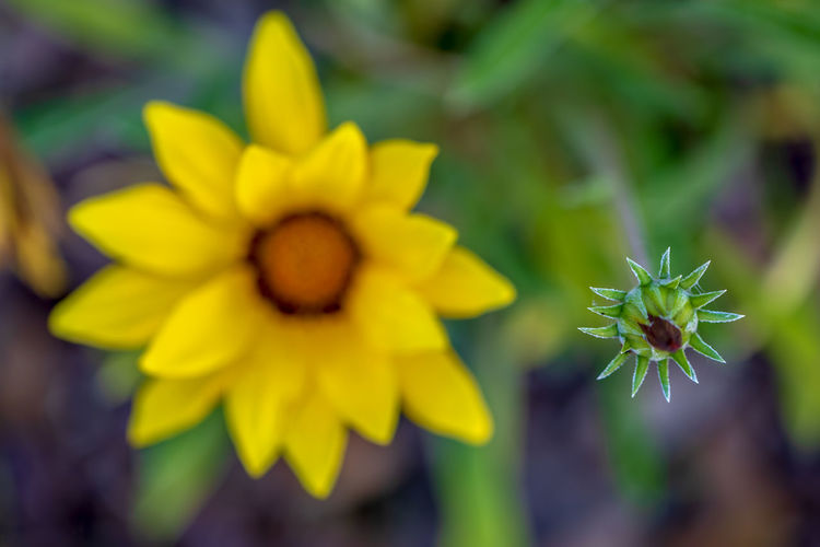 Flower Flowering Plant Plant Fragility Vulnerability  Beauty In Nature Yellow Growth Flower Head Petal Freshness Inflorescence Close-up Nature Focus On Foreground Day No People Pollen Outdoors Selective Focus