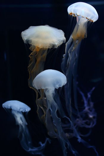 Close-up of jellyfish swimming in aquarium