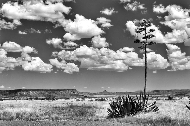 Desert mountain landscape with blooming agave Chihuahuan Desert Black And White Agave Plant High Sky Highway 118 West Texas Skies Desert Mountains West Texas Texas Alpine Texas Southwest Texas Davis Mountains Sky Cloud - Sky Beauty In Nature Nature Day Plant Land Tranquil Scene Tranquility Scenics - Nature Outdoors Environment Sunlight Non-urban Scene No People