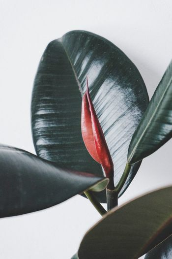 New ficus leaf Close-up Indoors  Minimalist Homesweethome Houseplant Lessismore EyeEmNewHere Simplicity Plantlife Greenery Minimal Potted Plant Indoors  Beauty In Nature White Background No People Green Color Growth Macro Photography Macro Leaf Vein Nature Ficuselastica