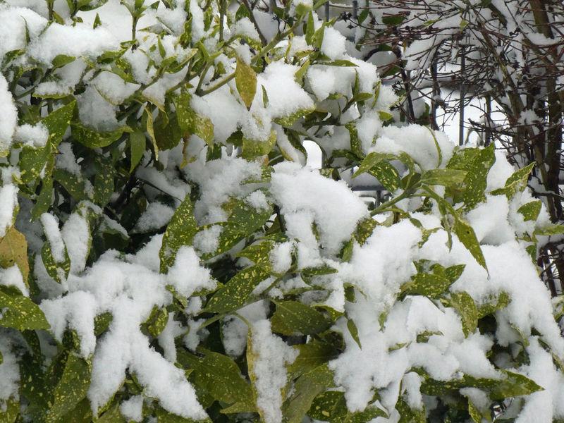 Garden Garten Wintertime Kirschlorbeer Cherry Laurel Snowcapped Prunus Laurocerasus Snow Winter Cold Temperature White Color Nature Weather Frozen Day Outdoors No People Snowflake Snowing