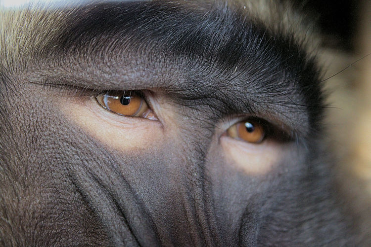 Baboon Animal Wildlife Baboon Eyes Eye