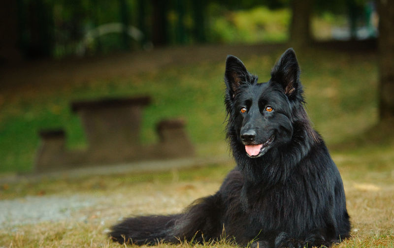 Black German Shepherd dog lying down in park Black Shepherd Pets One Animal Domestic Domestic Animals Mammal Animal Themes Animal Dog Canine Focus On Foreground No People Looking At Camera Black Color Field Outdoors Black Shepherd Black German Shepherd German Shepherd Lying Down