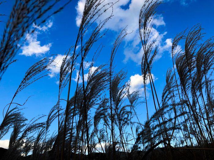 ススキは、逆光の方がよく色を見せてくれる。草原に座り込んで見上げると、空の明るさで陰しか見えない。 Sunset Silhouettes Sunset Pampas Grass Japanese  Sky Low Angle View Blue Day No People Nature Beauty In Nature Outdoors Cloud - Sky Growth Tranquility Sunlight Tree Scenics