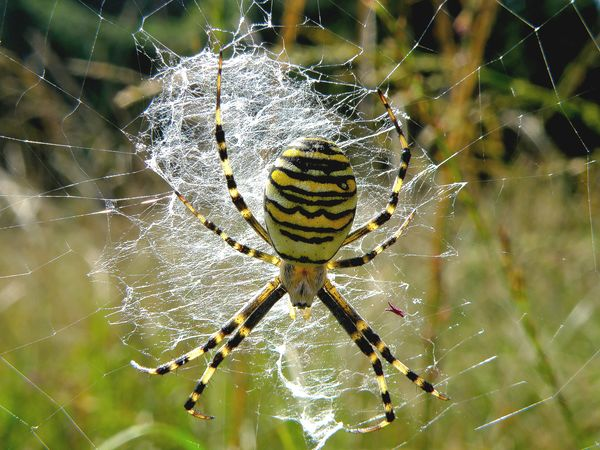 Beauty In Nature Close-up Spider Web Wasp Spider In Spidernet Wespspin
